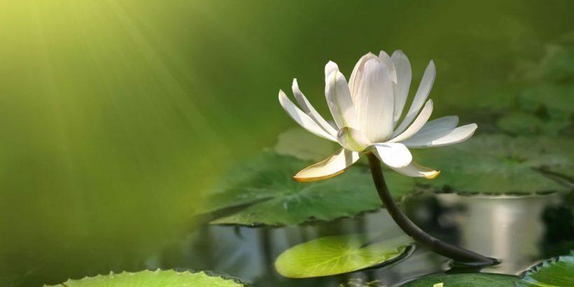 white-lotus-flower-exposed-to-sunlight-wallpaper-1024x576-820x410